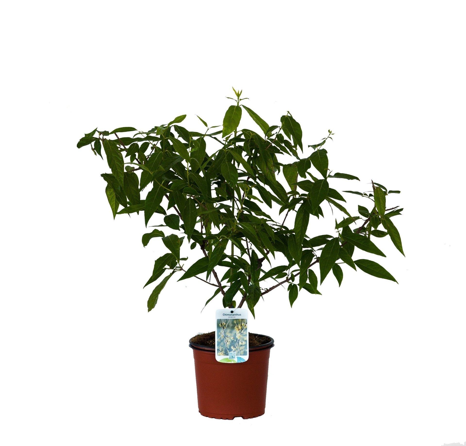 Calicanto Fiore D Inverno chimonanthus praecox v19 (calicanto invernale)