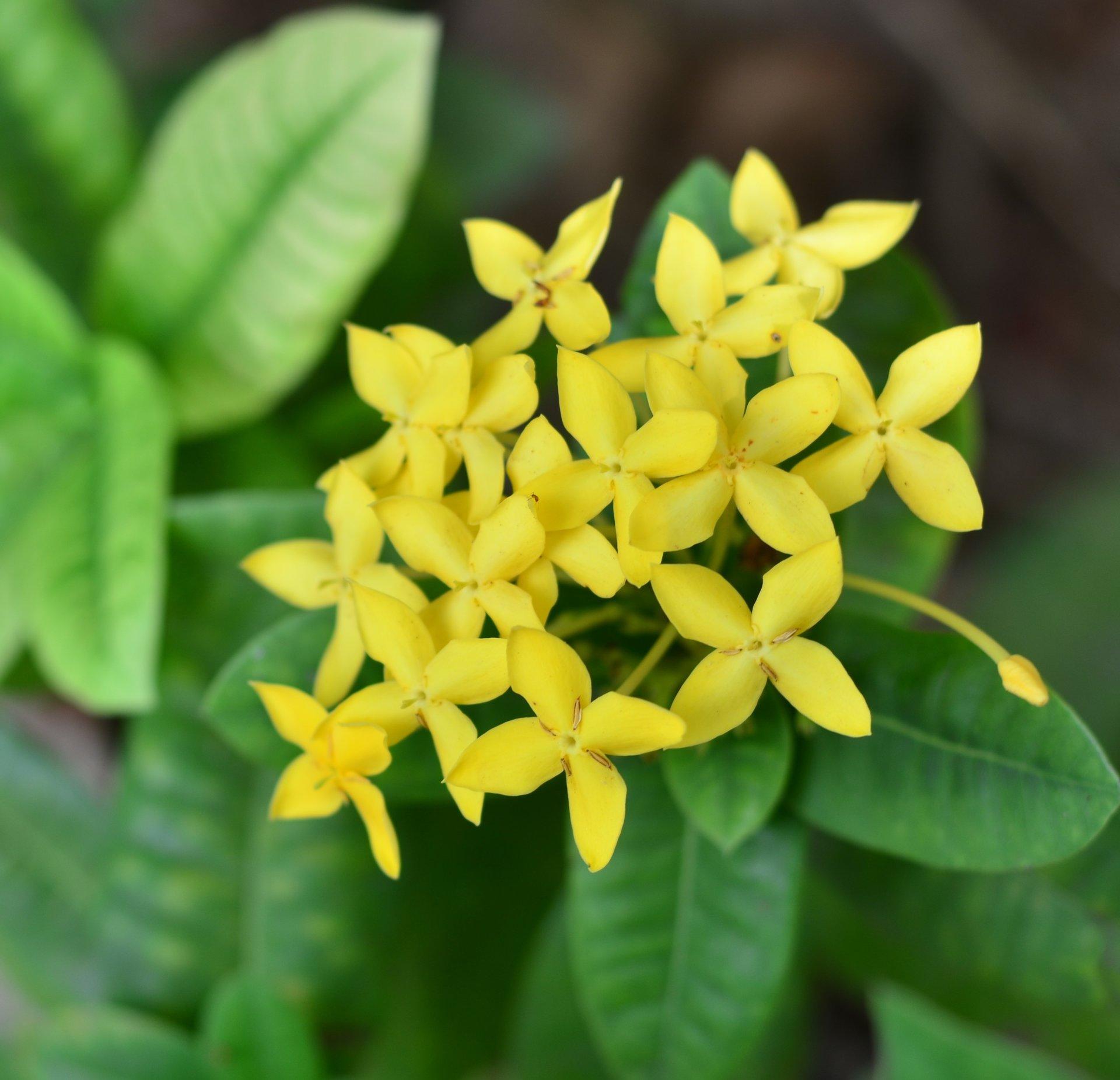 Rampicante Fiori Gialli.Rhyncospermum Asiaticum Fiore Giallo V19 Gelsomino