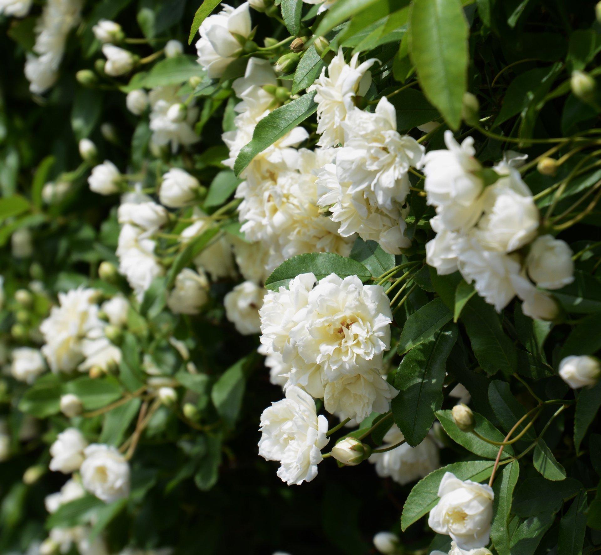 Rose Rampicanti Senza Spine rosa banksiae alba v19 - rampicante -