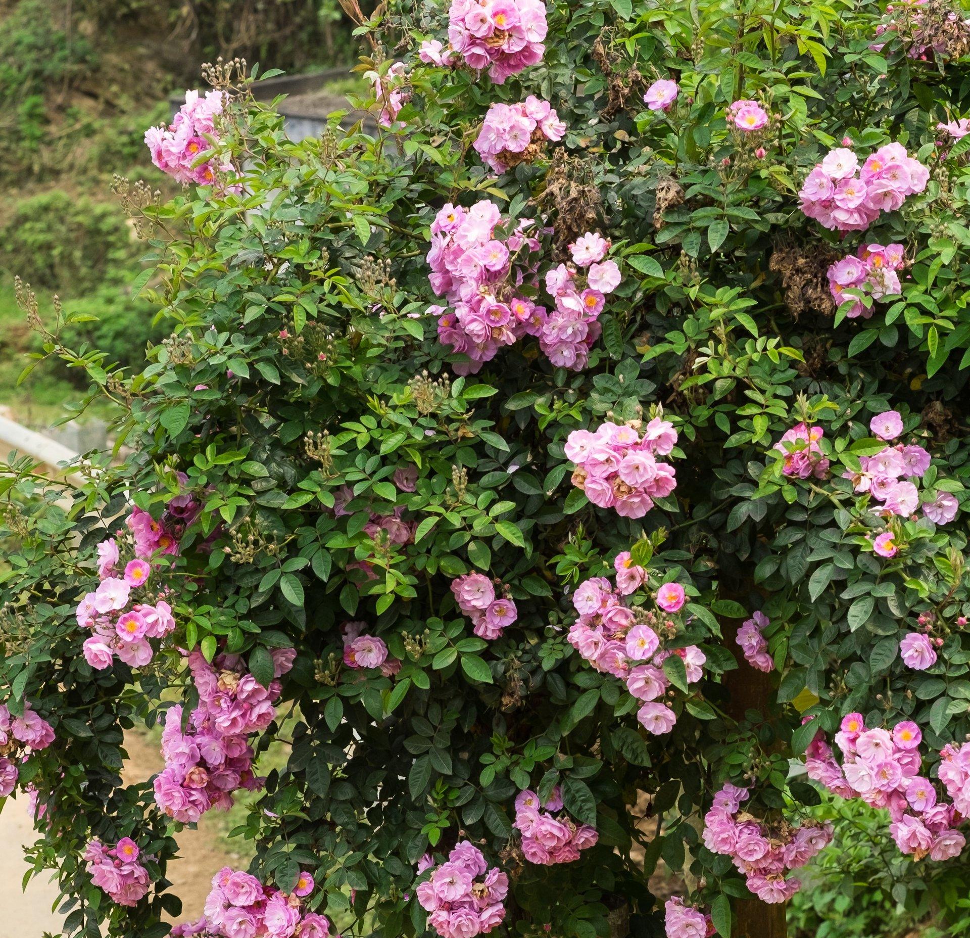 Rose Rampicanti Senza Spine rosa banksiae rosea v18 - rampicante -