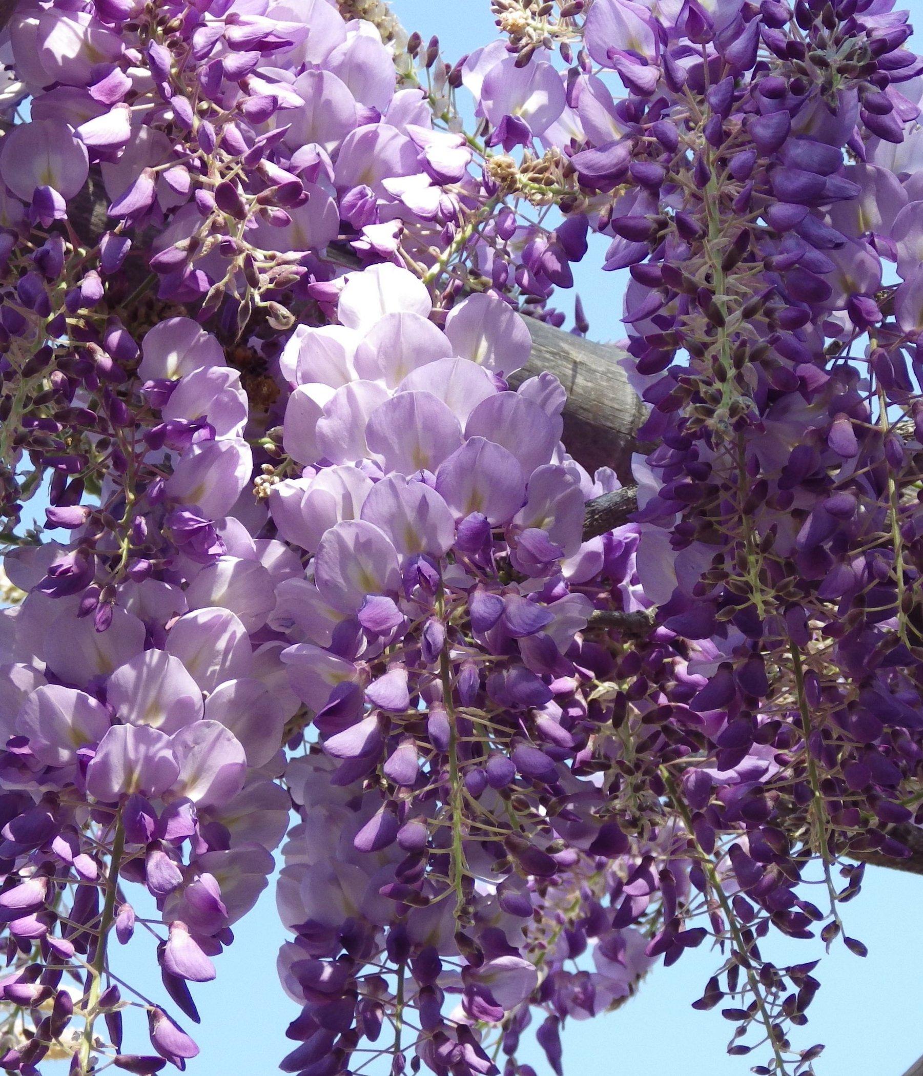 Quando Potare Il Glicine wisteria iko yama fuji v19 (glicine)